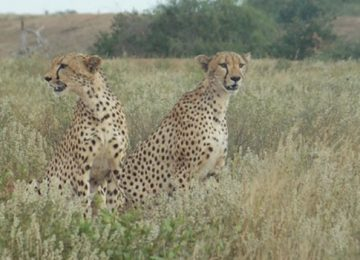 Cheetahs-within-the-sanctuary_zpskenyasafaris.com-sarova-taita-hills-game-lodge