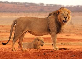 lion-satao-luxury-camp-tsavo-east-zpskenyasafaris.com