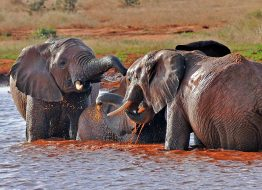 satao-camp-elephants-playing-satao-luxury-camp-tsavo-east-zpskenyasafaris.com